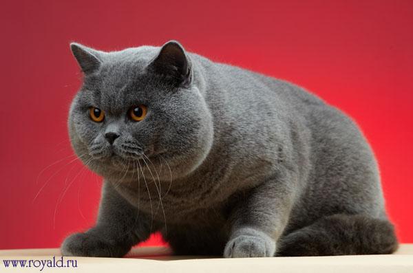 Картинки по запросу фото элитных котов